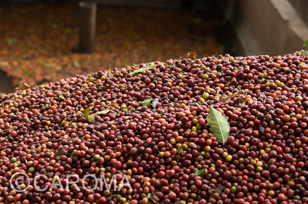 CAROMA_Bio_Fairtrade_Kaffeekirschen_Sammlung